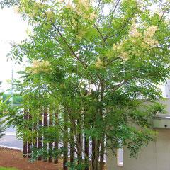 シマトネリコ-木