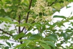 シマトネリコ-花