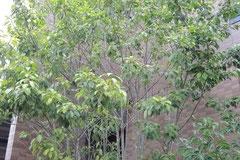 ソヨゴ-木