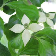 ヤマボウシ-花