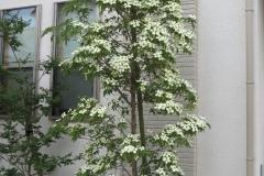 常緑ヤマボウシ-木