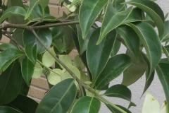 常緑ヤマボウシ-葉