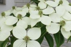 常緑ヤマボウシ-花